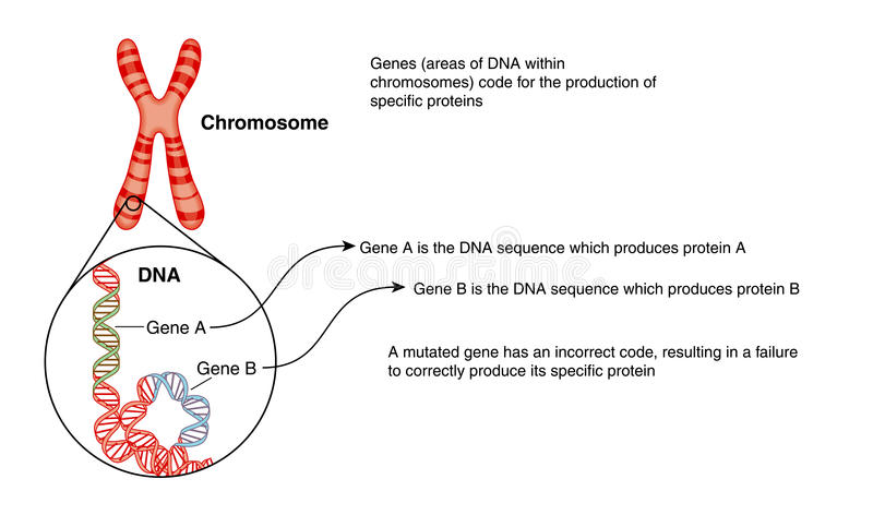 Chromosome and DNA royalty free illustration