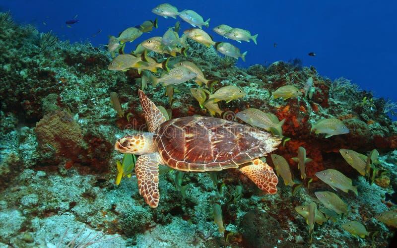 chrumka hawksbill żółwia fotografia royalty free