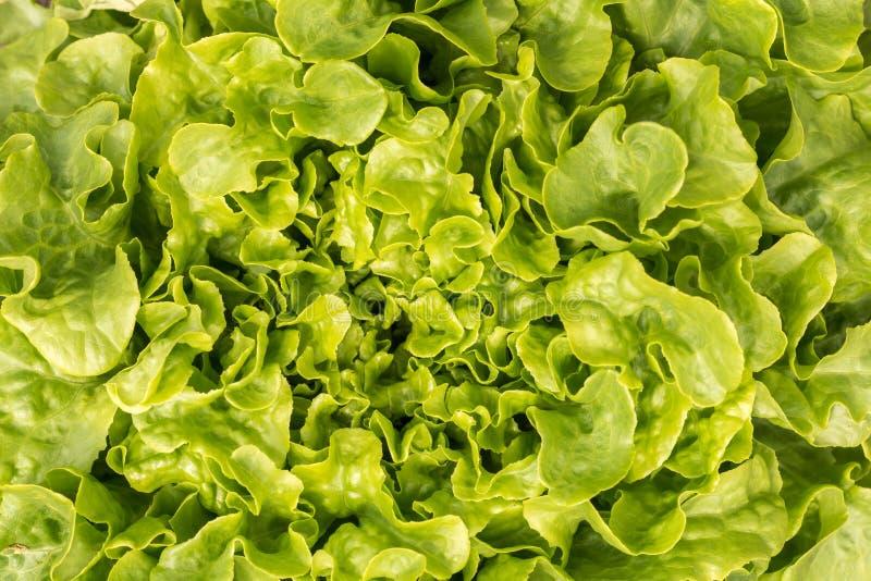 Chrupiąca świeża liść sałatka jako tekstura lub tło fotografia royalty free