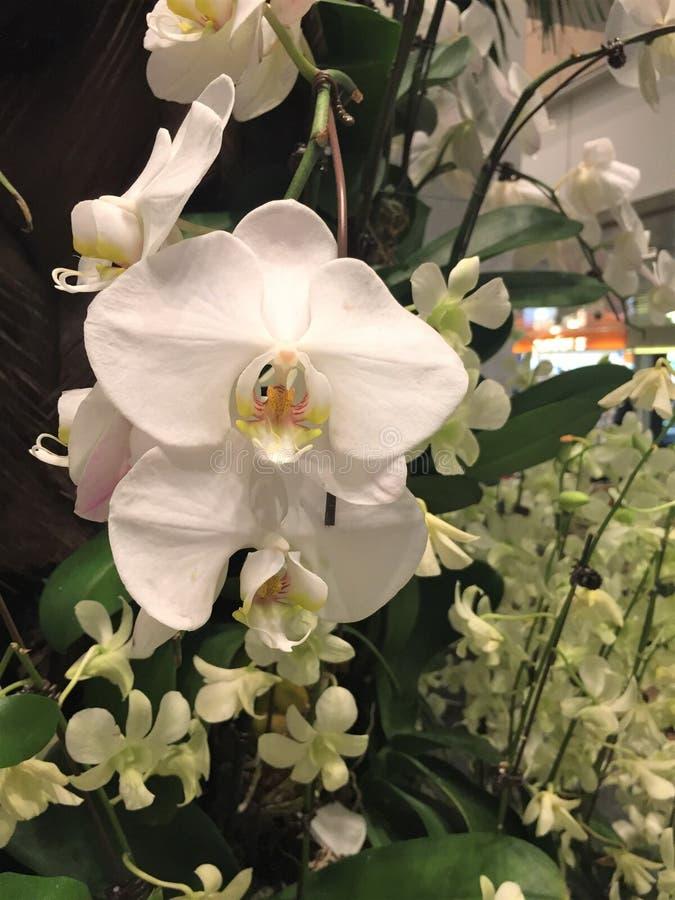 Chrupiący biały ćma orchidei Phalaenopsis obraz stock