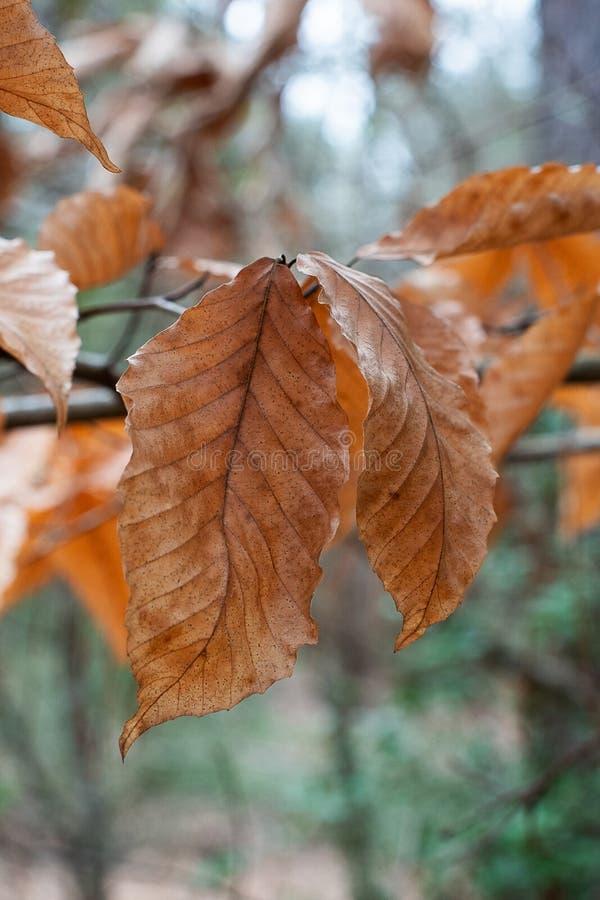 Chrupiący jesień liście w lesie Zamkniętym W górę obrazy royalty free