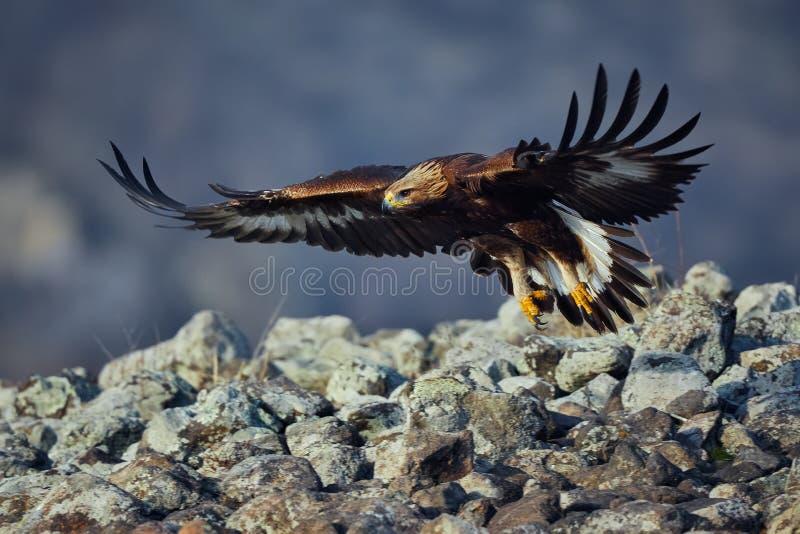 Chrysaetos de oro de Eagle Aquila, con envergadura grande Animal salvaje fotos de archivo libres de regalías