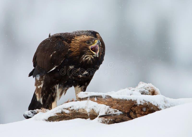 Chrysaetos di L'Aquila dell'aquila reale, in una bufera di neve immagini stock