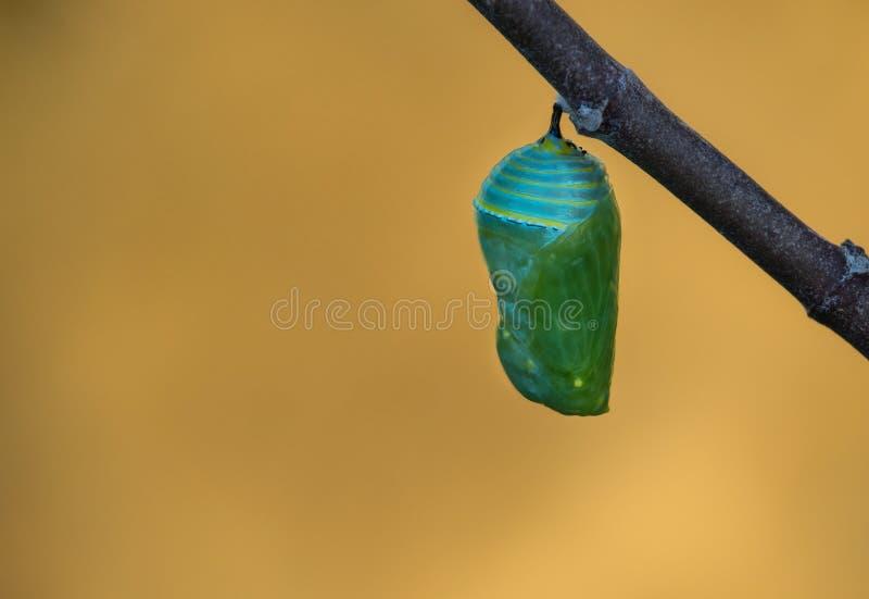 Chrysalides de papillon de monarque images stock