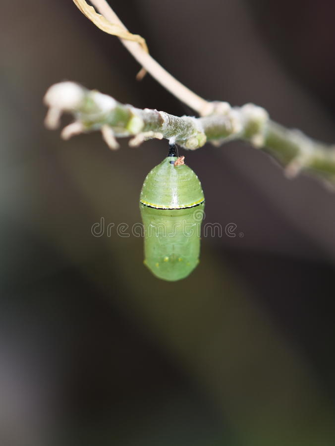 Chrysalides de papillon de monarque image libre de droits