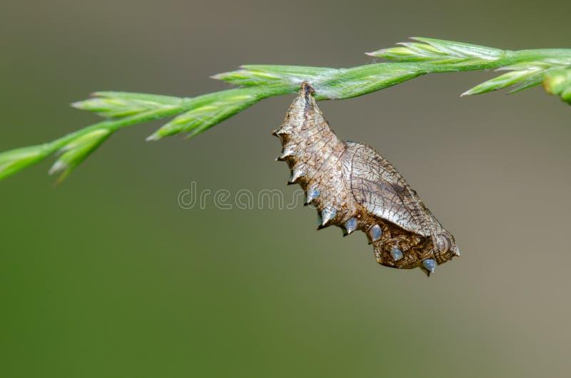 Chrysalides de papillons de daphne de Brenthis sur l'usine image stock