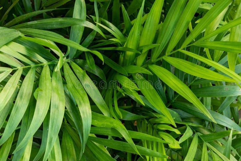 chrysalidocarpus chrysalidocarpus是淡黄色特写镜头图片