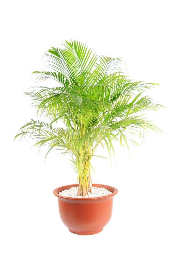 chrysalidocarpus lutescens στοκ φωτογραφία με δικαίωμα ελεύθερης χρήσης
