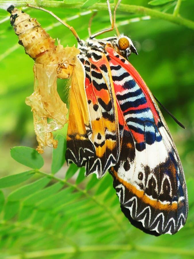 chrysalis бабочки стоковое изображение rf