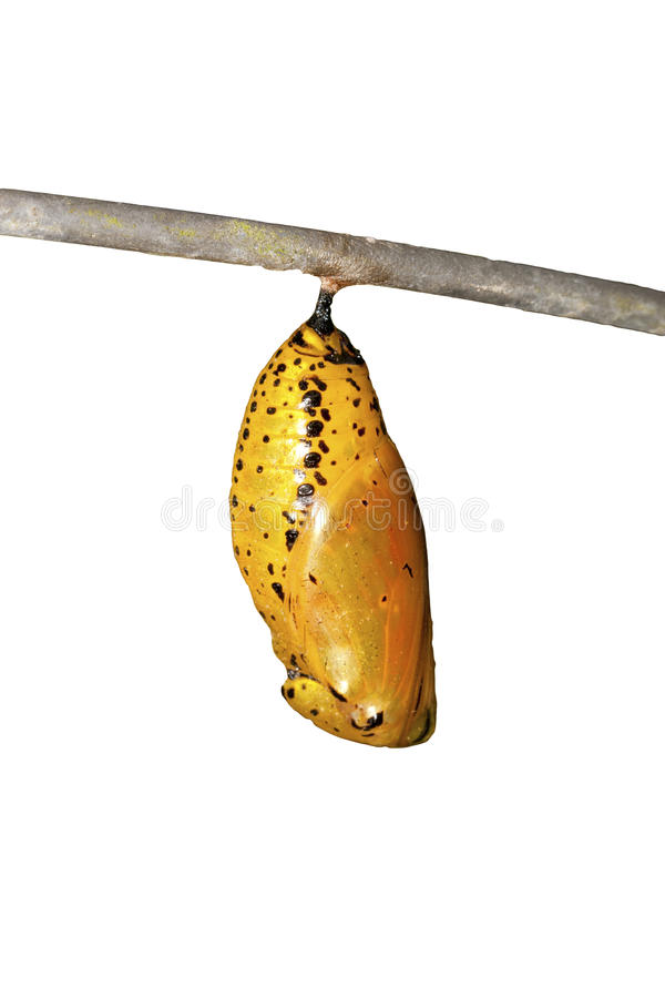 Chrysalis of butterfly royalty free stock images