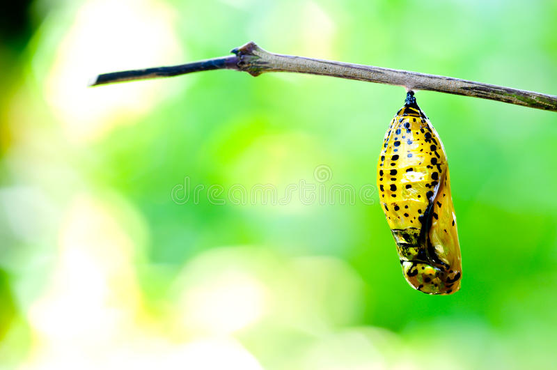 Chrysalis butterfly stock images
