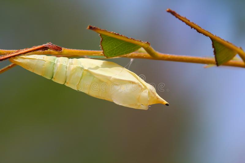 Chrysalis Butterfly royalty free stock photo
