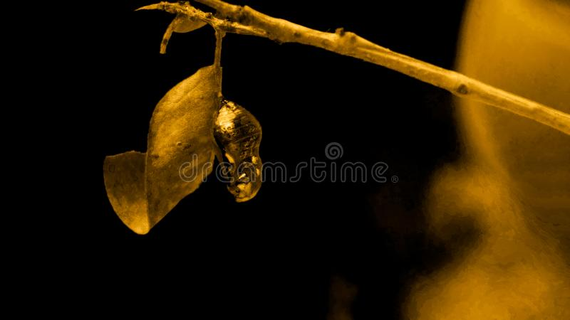 Chrysalis of a butterfly. A Gold coloured Chrysalis Butterfly found in most gardens across Queensland, Australia stock photos