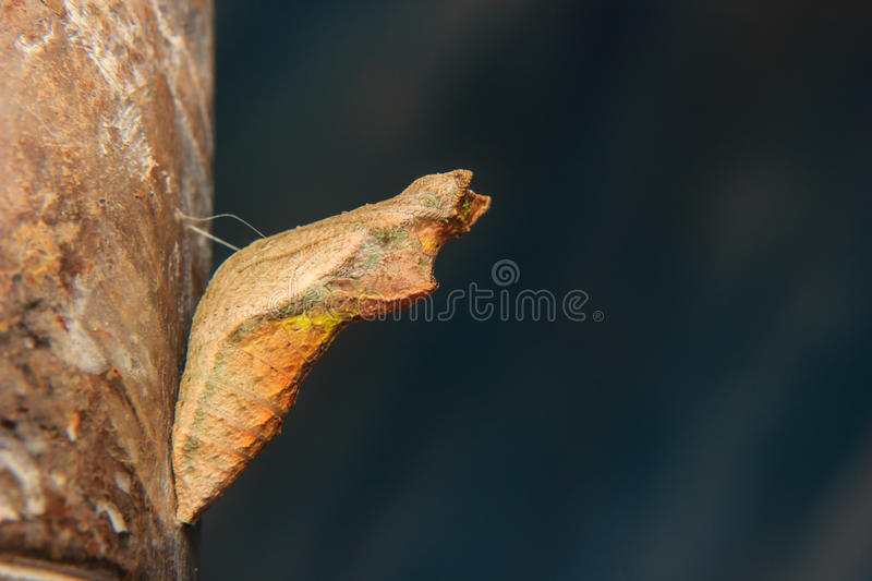Chrysalis of butterfly hanging. Close up chrysalis of butterfly hanging stock photo