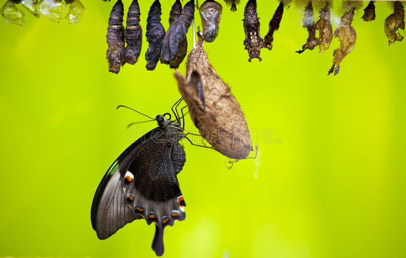 Download Chrysalis stock image. Image of life, butterfly, insect - 31749725