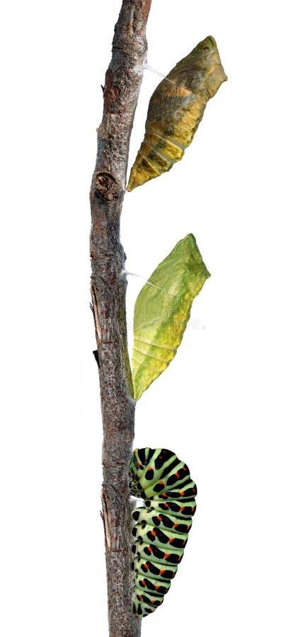 Chrysalis della coda di rondine fotografia stock