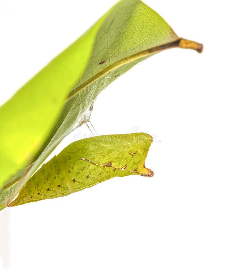 Chrysalis di attaccatura del agamemnon di Graphium della farfalla Tailed Jay fotografia stock libera da diritti