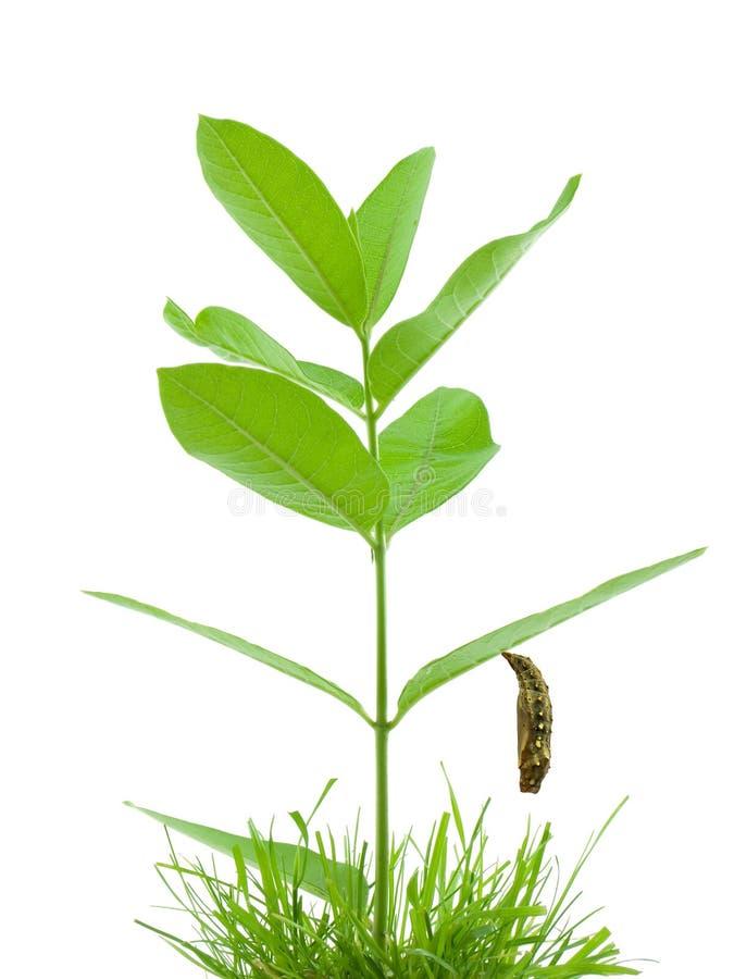 Chrysalis hanging from milkwee. Chrysalis hanging from a milkweed plant royalty free stock photo