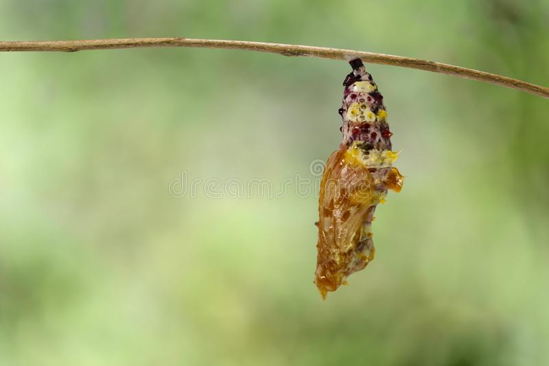 Chrysalis of Leopard lacewing butterfly Cethosia cyane euanthe. S after molting from caterpillar hanging on twig with green backgrund stock photo