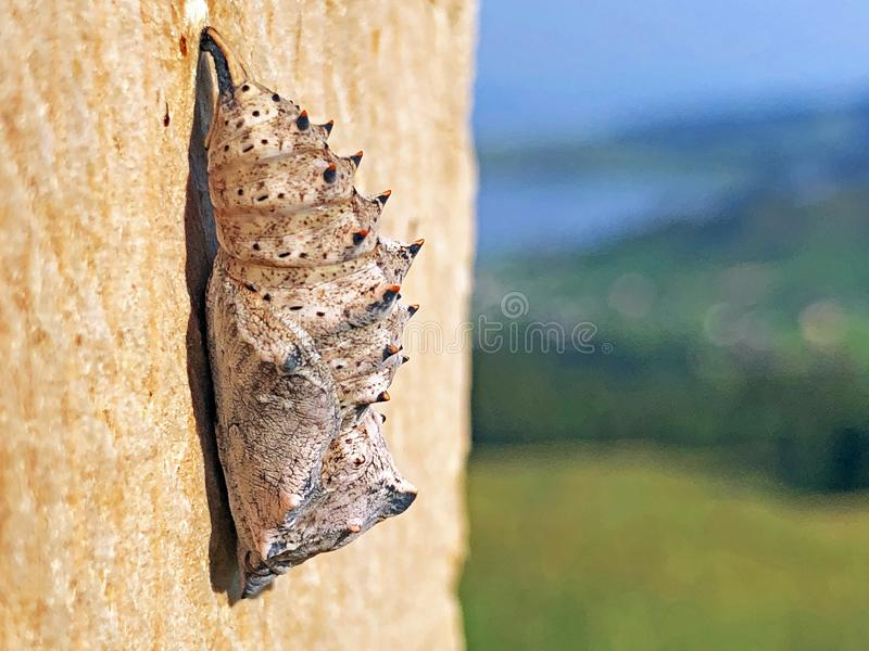 Chrysalis or Pupa of the daily butterfly in the valley of the Sihlsee Lake, Willerzell. Canton of Schwyz, Switzerland stock photos
