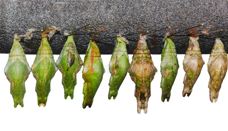 Chrysalis Set royalty free stock images