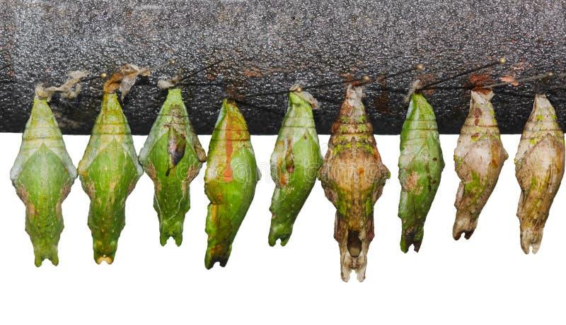 Chrysalis Set. Set of papilio memnon great mormon chrysalis pupa cocoon royalty free stock images