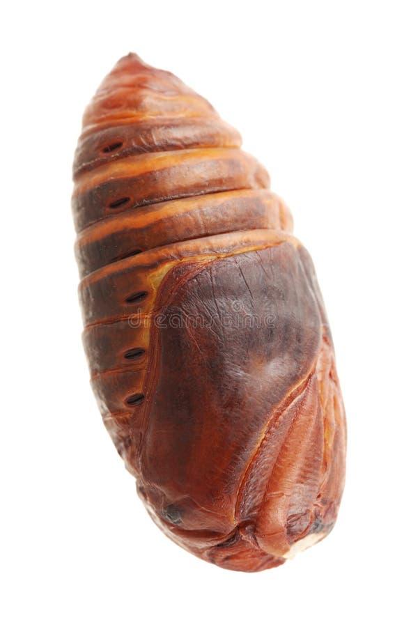 Chrysalis silkworm. Silk worm cocoon royalty free stock photo