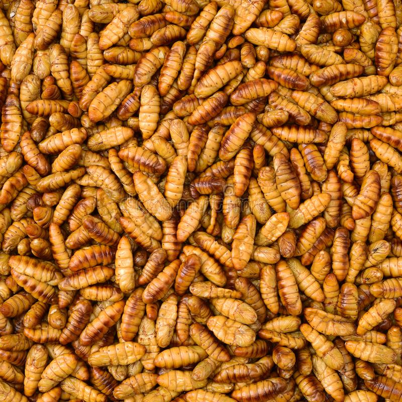 Chrysalis silkworm. This is a source of silk thread and silk fabric royalty free stock photo