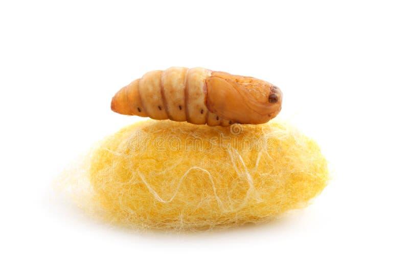 Chrysalis silkworm on silk worm cocoon. Chrysalis silkworm up over silk worm cocoon royalty free stock photo
