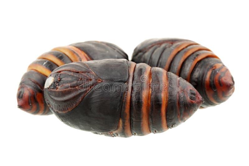 Chrysalis silkworm ,silk worm cocoon. On white background stock image
