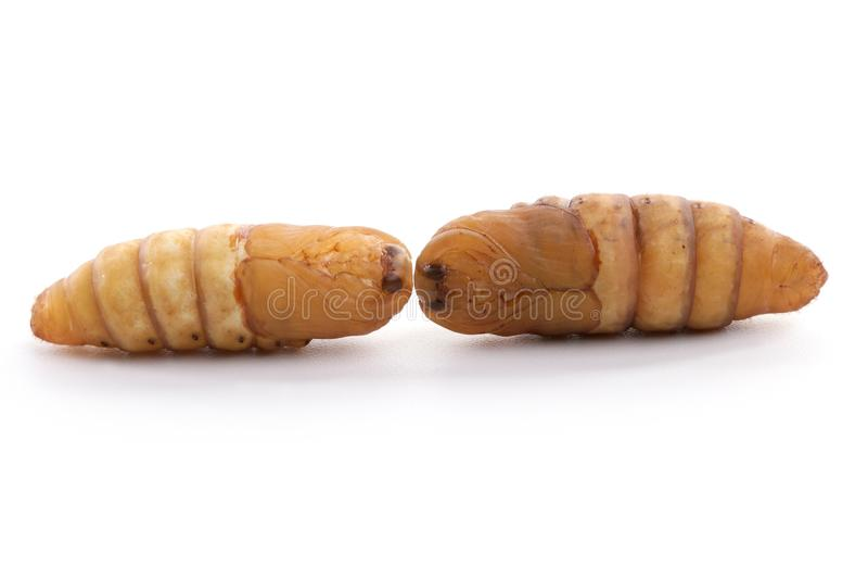 Chrysalis silkworm on white background. Silk worm stock photography