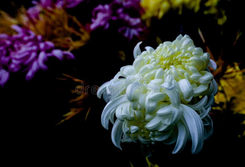 Chrysant royalty-vrije stock fotografie