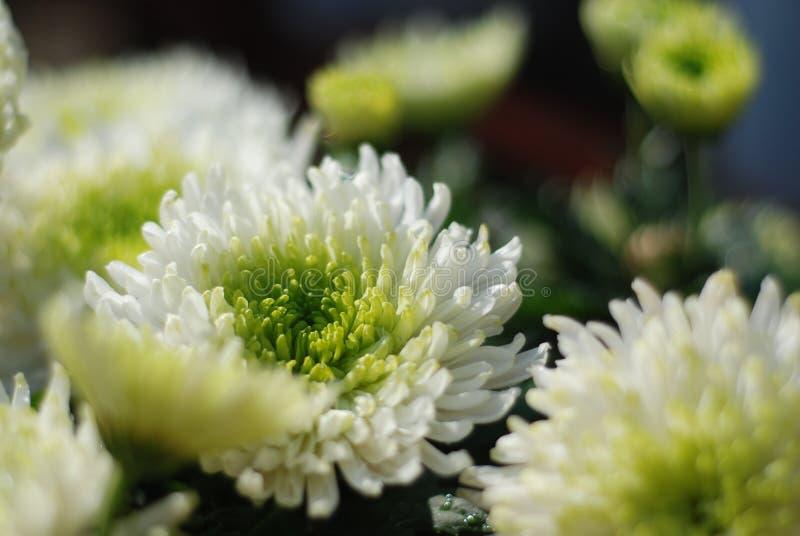 Chrysant stock afbeelding