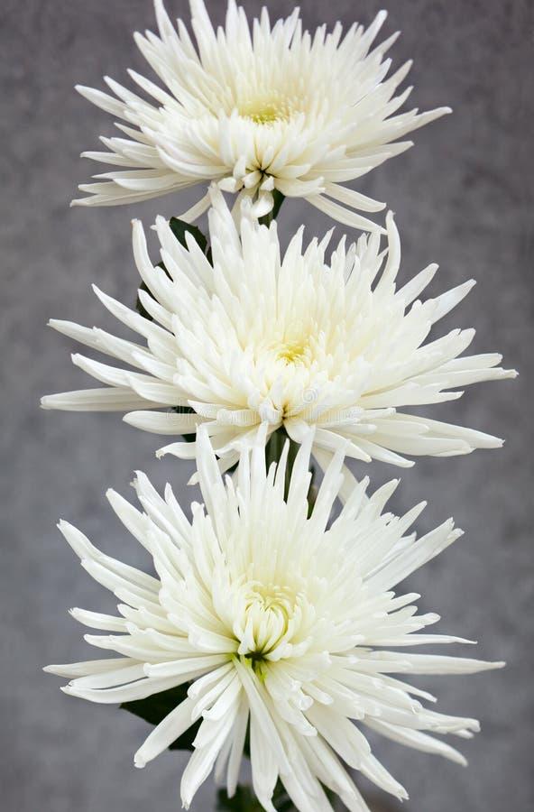 Chrysant royalty-vrije stock fotografie