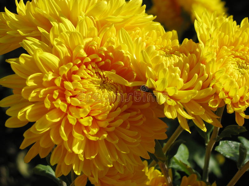 Chrysant stock foto