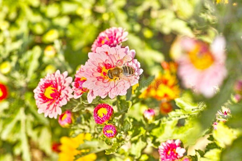 Chrysant en Hoverfly stock afbeeldingen