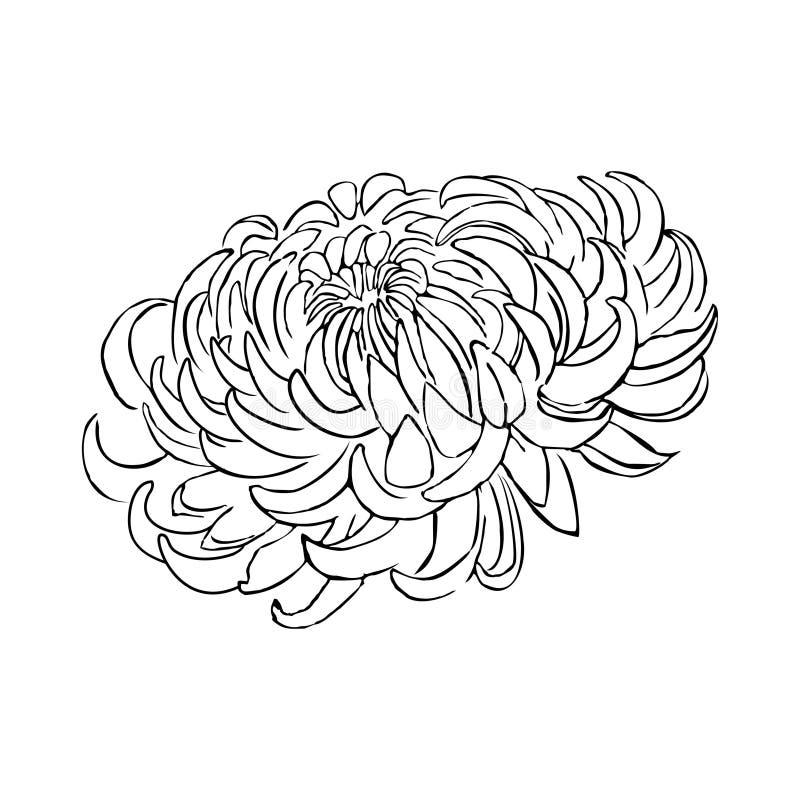 Chrysant Tropische exotische bloem Installatie die op wit wordt ge?soleerd Het element van het ontwerp stock illustratie