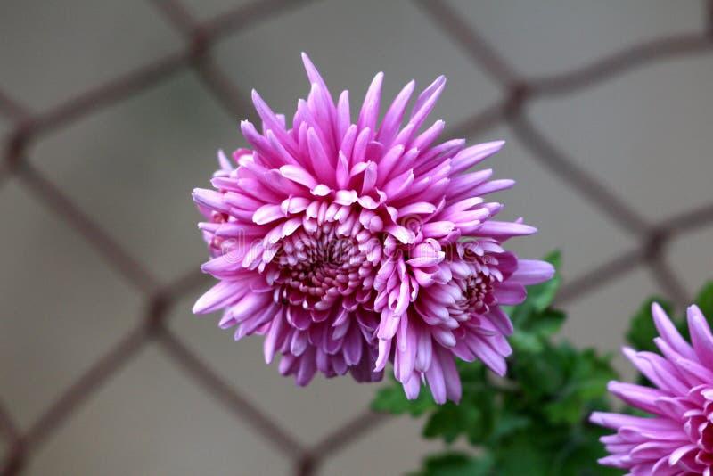 Chrysant of van Chrysanths bloeiende installaties met volledig open bloeiende violette bloemen die voor de omheining van de metaa royalty-vrije stock foto's