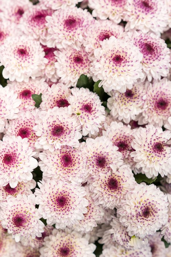 Chrysant vele roze chrysanten Kleine roze bloemen Roze chrysantenachtergrond Verticale foto royalty-vrije stock foto