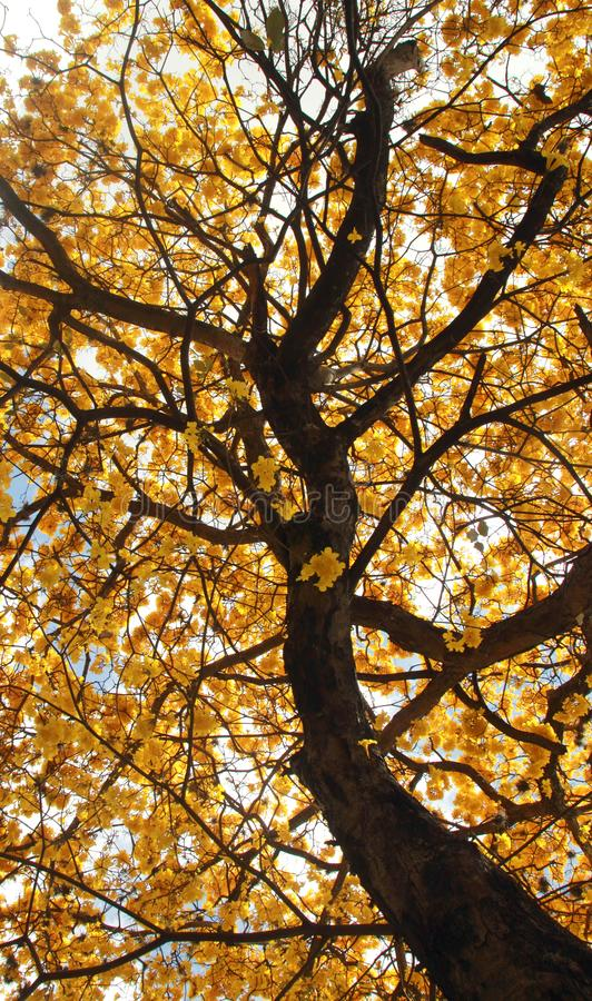 Chrysanta de florescência amarelo de Tabebuia da árvore imagem de stock royalty free
