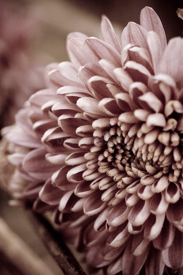 Chrysantemum image libre de droits