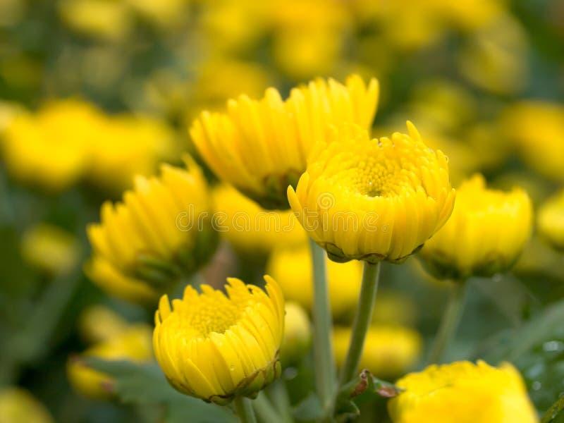Chrysantemum floreciente fotografía de archivo libre de regalías