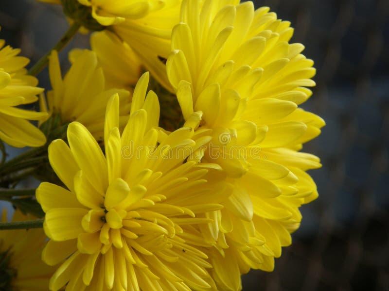 Chrysantemums jaune image libre de droits