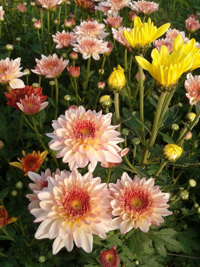 Chrysantenbloei in tuin royalty-vrije stock fotografie
