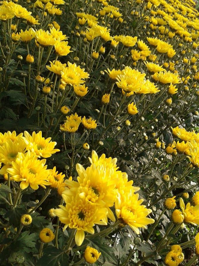 Chrysantenbloei in tuin stock afbeeldingen