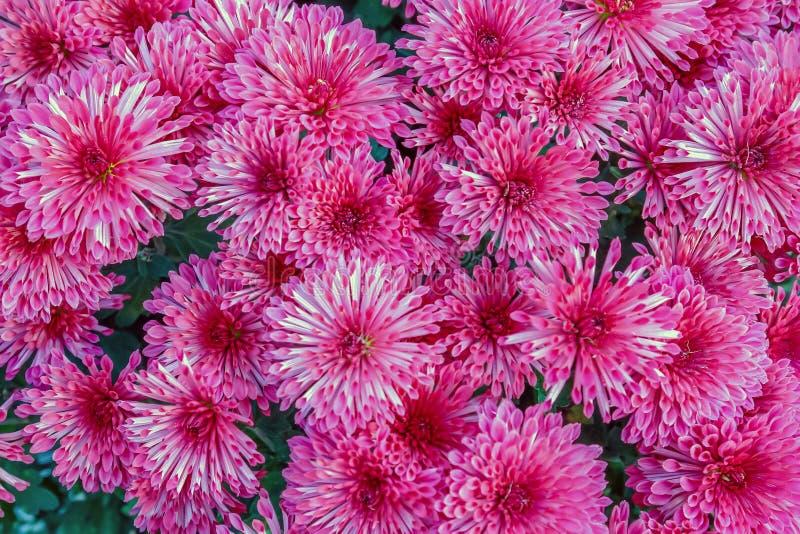Chrysantenbloemen stock afbeelding