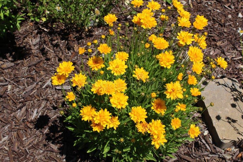 Chrysantensegetum stock foto's