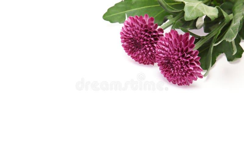 Chrysanthème à un arrière-plan blanc photographie stock