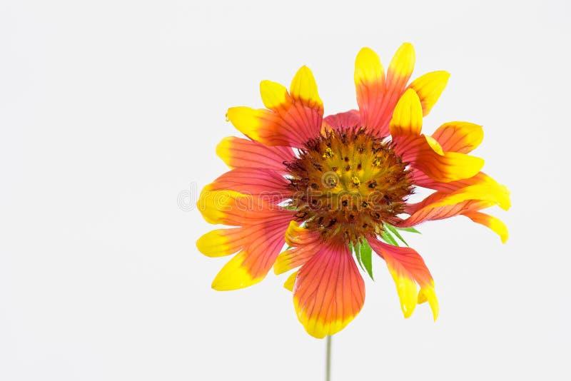 Download Chrysanthème photo stock. Image du accroissement, complètement - 45371236