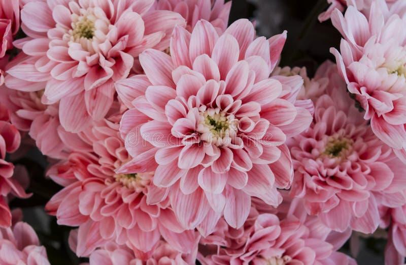 Chrysanthème photo stock